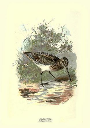 COMMON SNIPE - Scolopax Gallinago